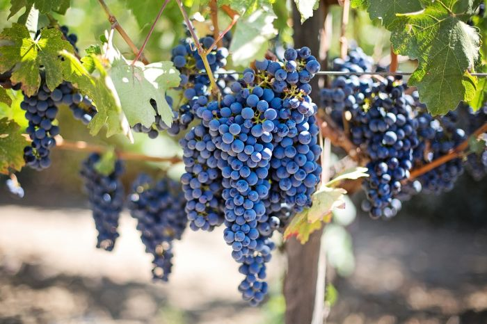 La piel de las uvas contiene resveratrol